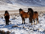 Icelandic Horses - Dave Banks Photography